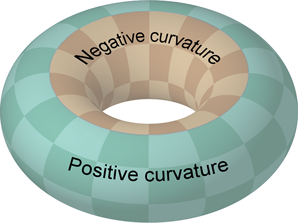 Torus showing positive and negative curvatures